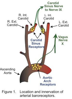 Carotid sinus baroreceptor - Note : They are present in \