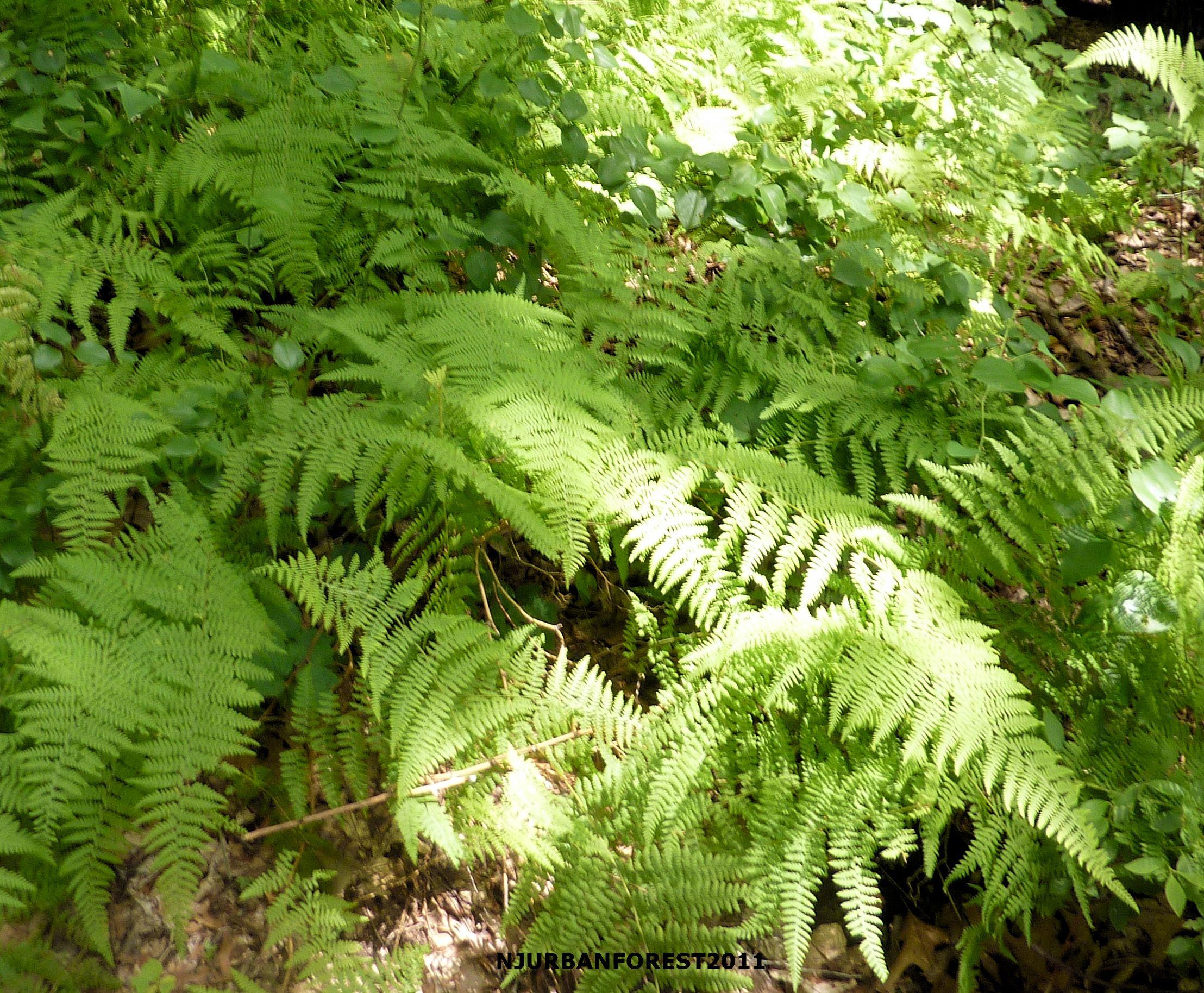 Flat Rock Brook Forest - Ferns | Nature center, Flat rock ...