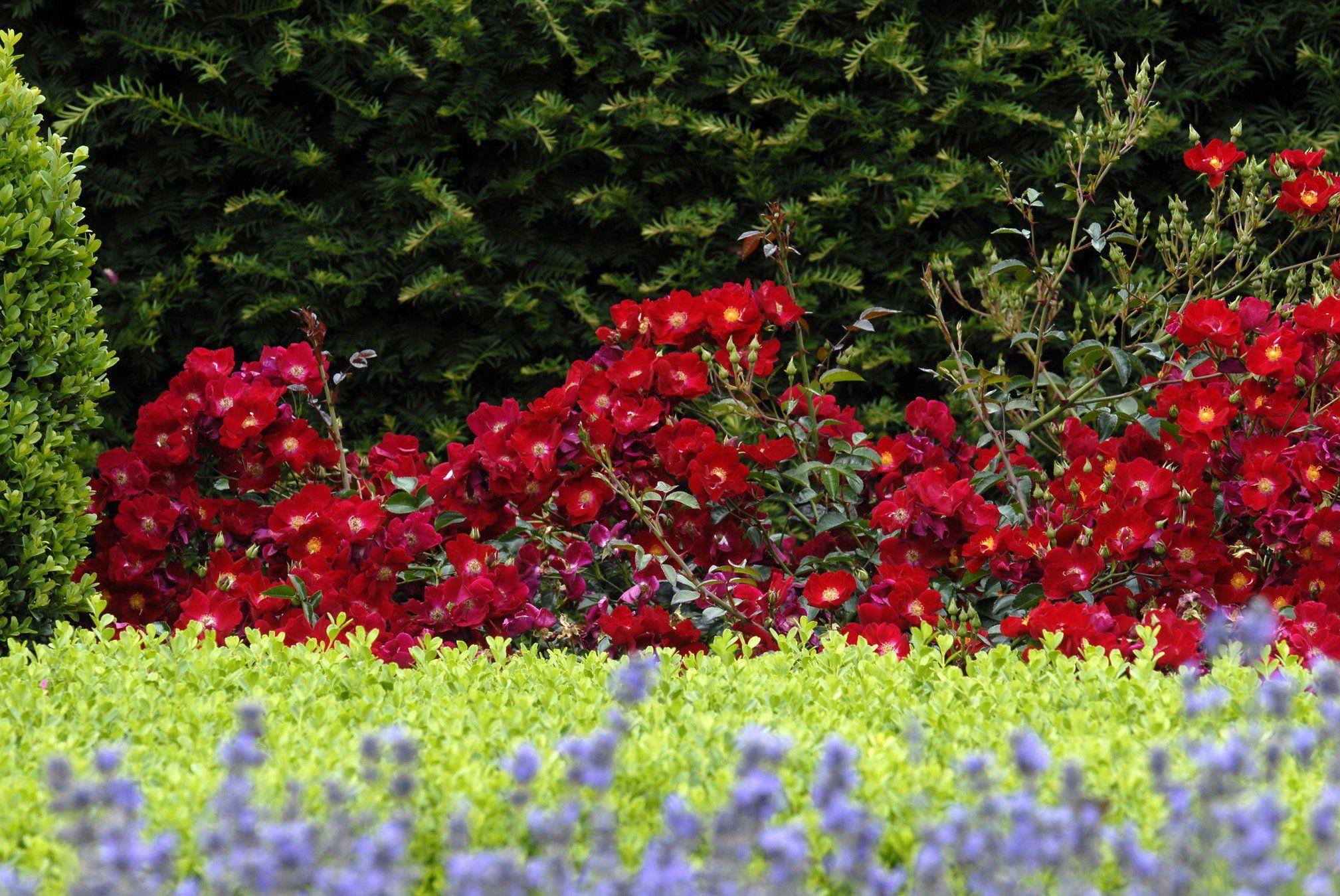 Flower Carpet Red Groundcover Rose Monrovia Flower Carpet