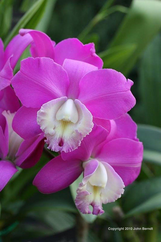 Cattleya Orchid Orchid Photographs Cattleya Orchids Cattleya