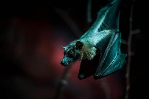 i lub bats