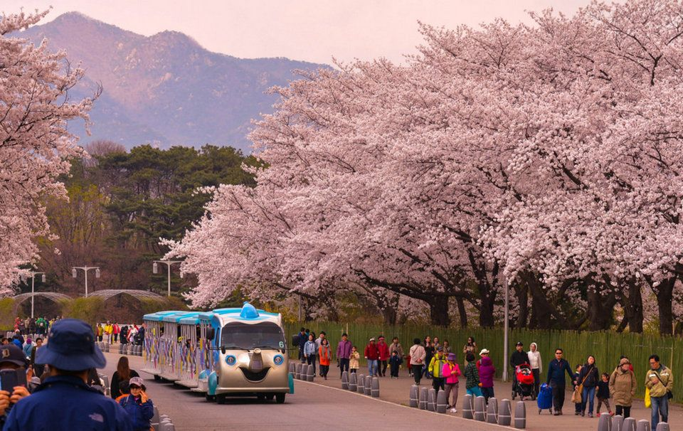 Top 5 Cherry Blossom Festivals In South Korea In 2017 Seoul Places To See South Korea