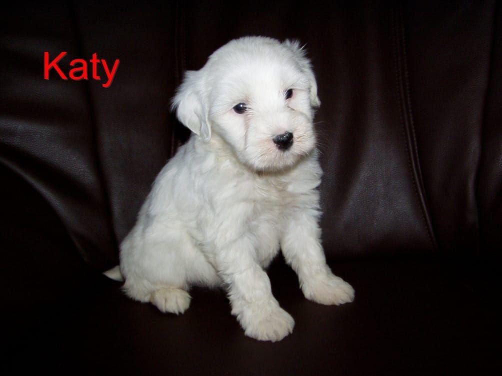 Wunderschone Tibet Terrier Welpen Mit Pap Kothen Anhalt Tibet Terrier Deine Tierwelt De Tibet Terrier Welpe Tibet Terrier Terrier