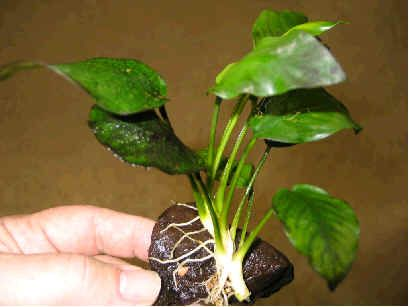 How To Plant And Grow Anubias With Pictures Plants Planting Flowers Bird Fountain