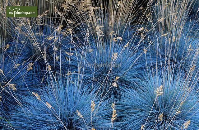 festuca glauca elijah blue du und dein garten pinterest gr ser pflanzen und grabpflanzen. Black Bedroom Furniture Sets. Home Design Ideas