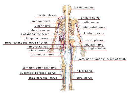 Diagram Of The Nervous System Nervous System Pinterest