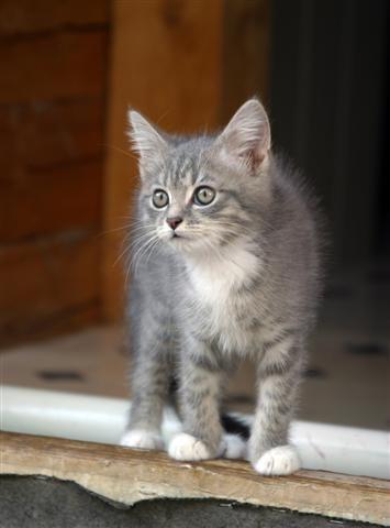 Attentive Grey Tabby Kitten Kittens Cutest Grey Tabby Cats