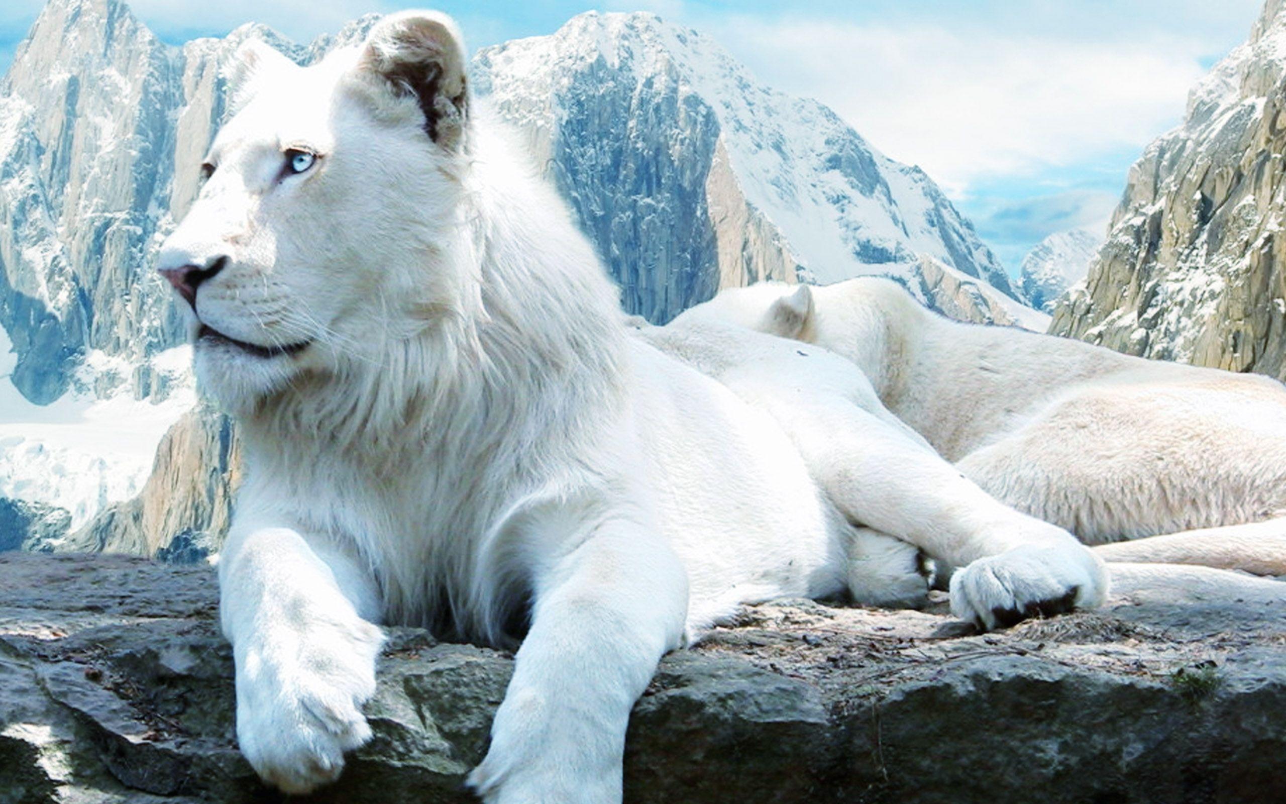 Hd wallpaper lion - White Lion Pictures White Lions Hd Wallpapers Hd Wallpapers Inn