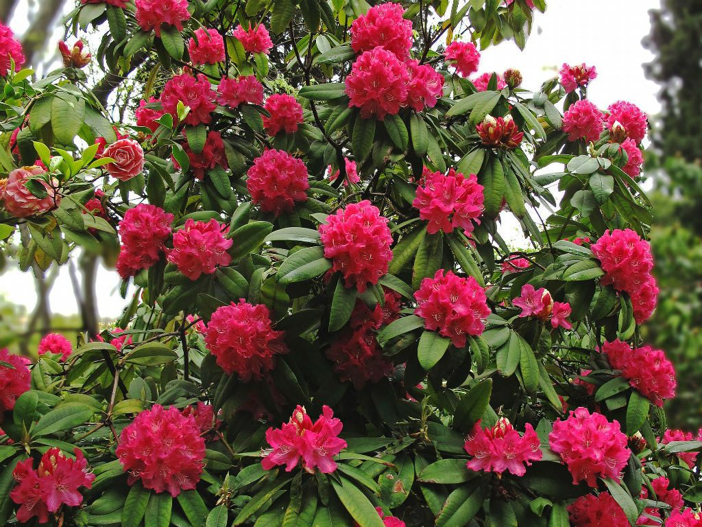 Rhododendron Arboreum Tree Rhododendron World Of Flowering Plants Flora Flowers Rhododendron Flowers