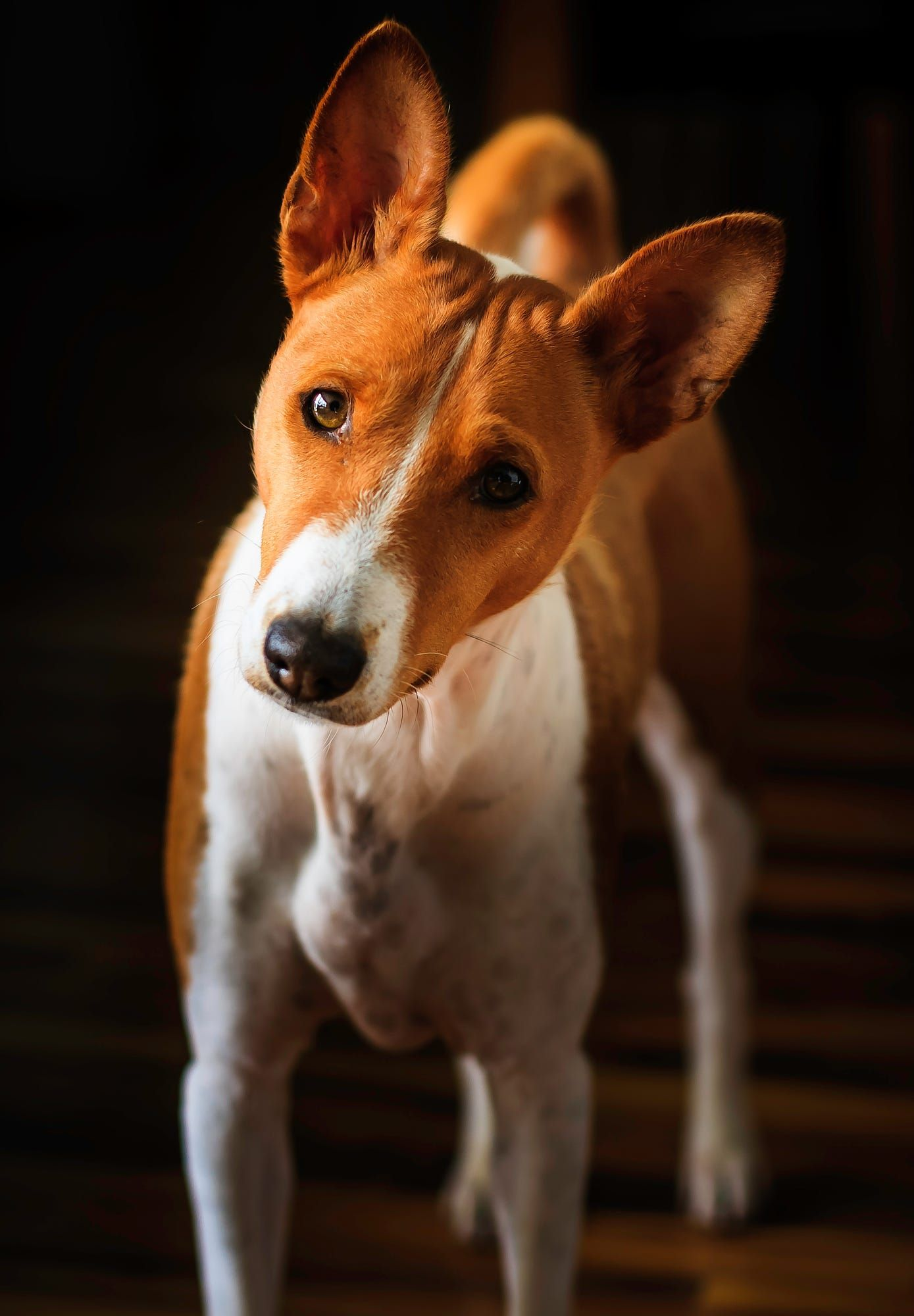Our Basenji Turbo 6 Years Old Basenji Dogs Dogs