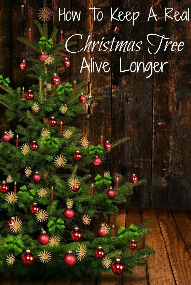 HOW TO KEEP A REAL CHRISTMAS TREE ALIVE LONGER | Live ...