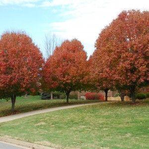 Products Leafland Page 54 Tree Nursery Specimen Trees