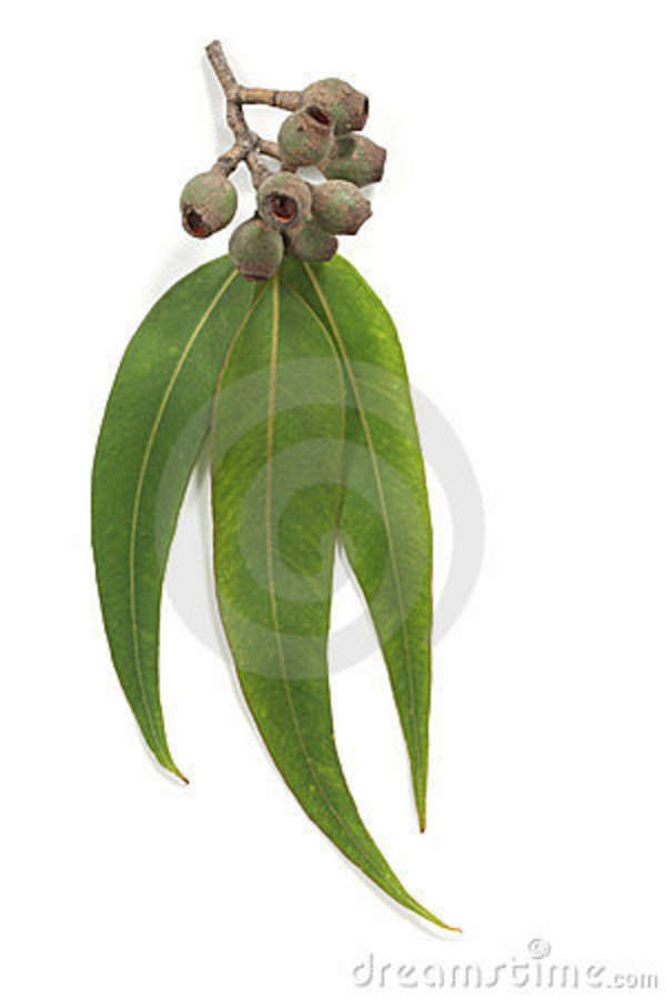 Gum Nuts And Leaves Australian Flowers Australian Native Flowers Leaf Drawing