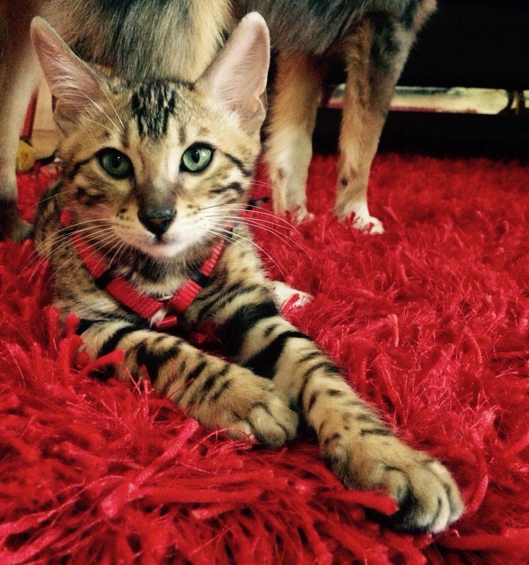 Camilo My Baby Bengal Cat Bengal Cat Sheltie Cats