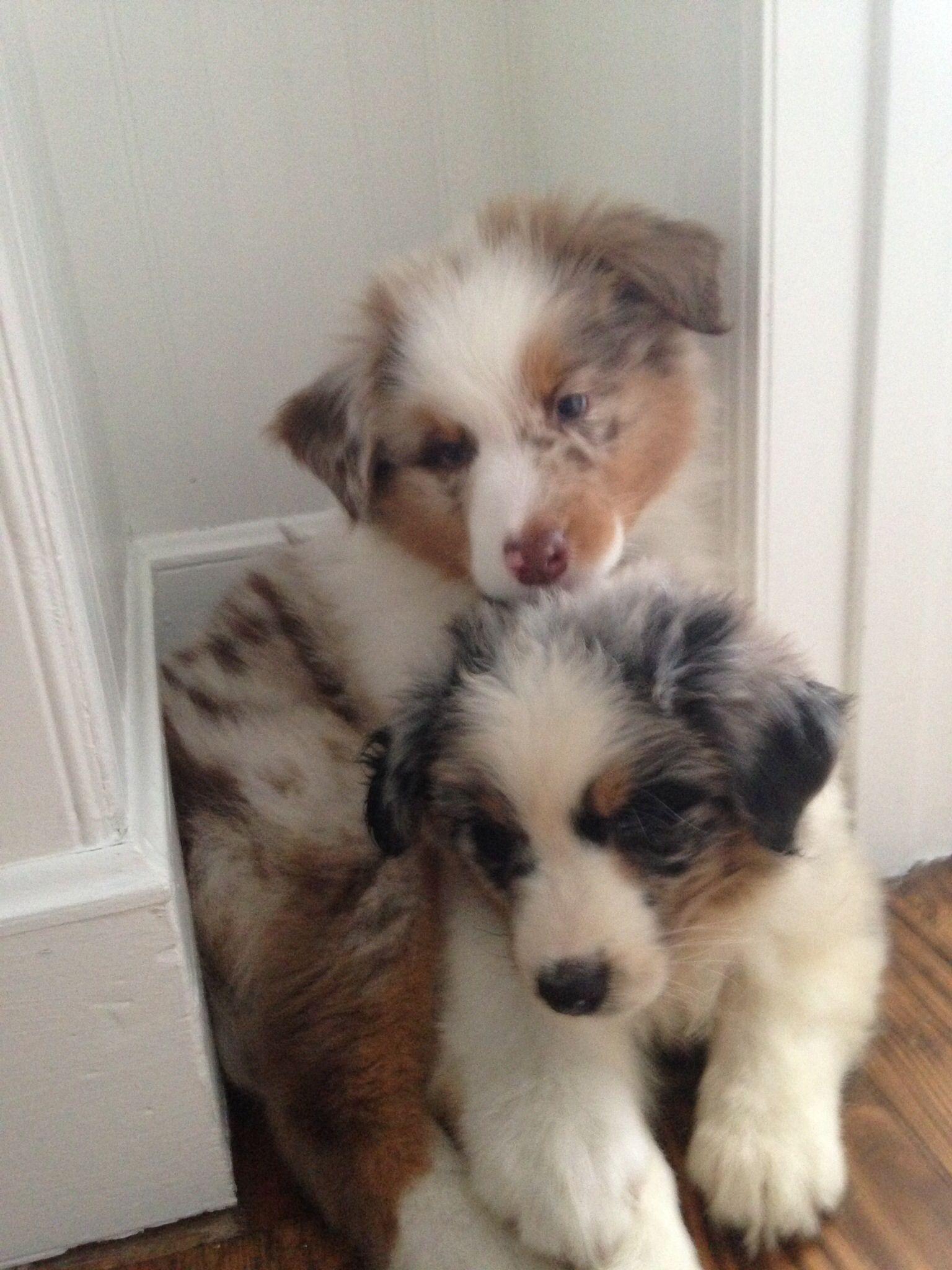 Australian Shepherd puppies. Blue Merle and Red Merle