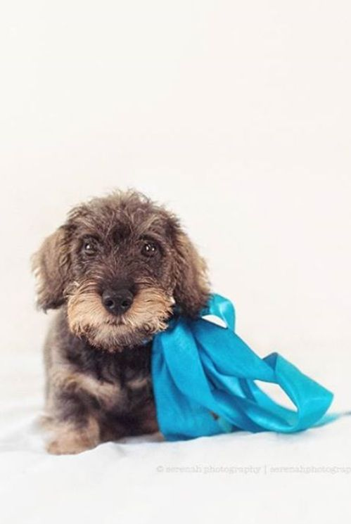 ❤ ❤️miniature wire haired daschund... Henri <3 | wienie world ...