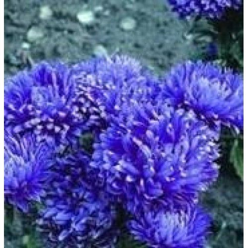 The Page You Requested Cannot Be Found Birth Flowers Aster Flower Flowers
