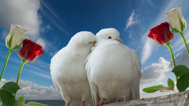 Download 1920x1080 Hd Wallpaper Cuople Rose Wedding Dove Romantic Kiss Desktop Backgrounds Hd Cute Birds Beautiful Birds Beautiful Bird Wallpaper