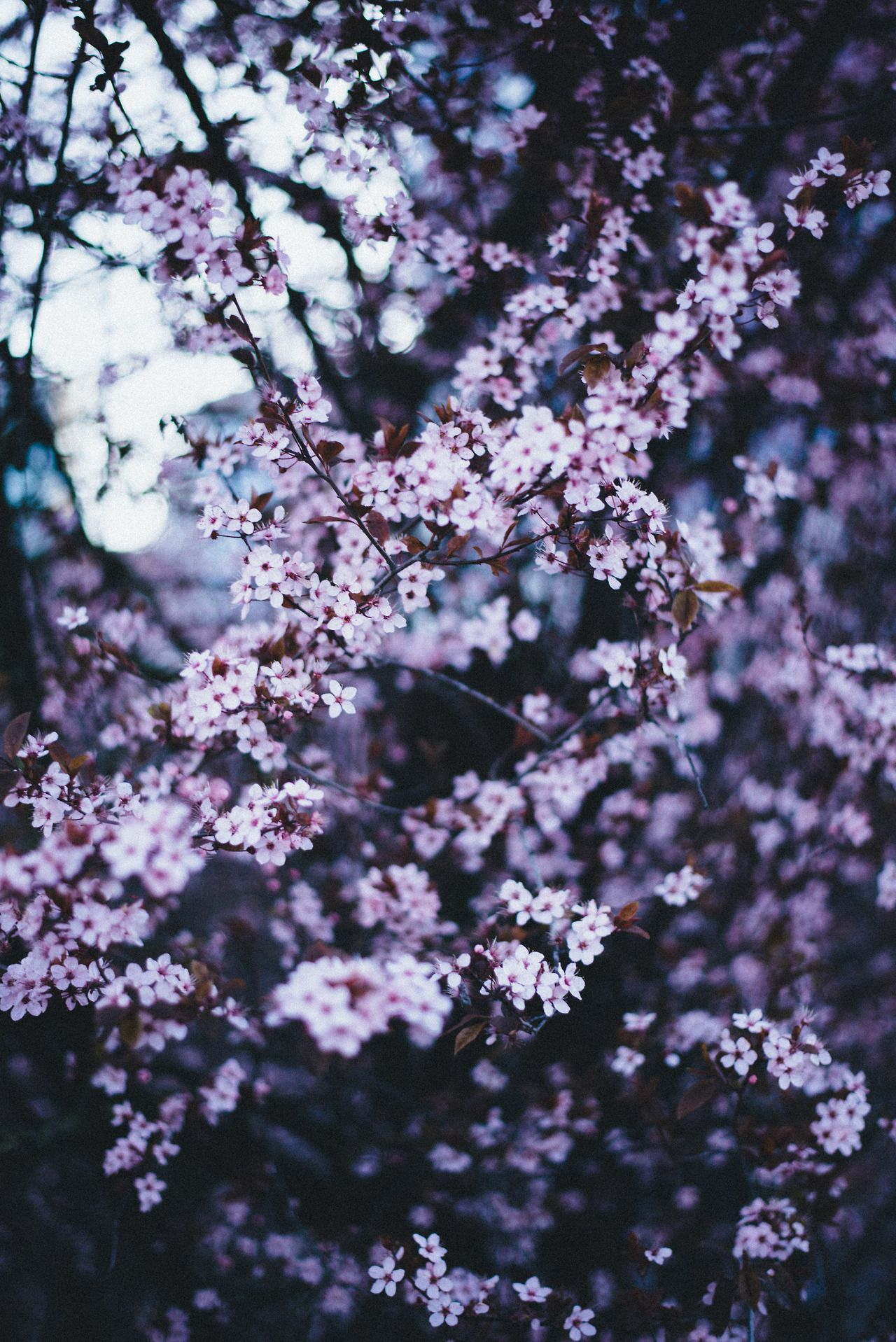 Cherry Blossoms by photowzrd on tumblr Cherry blossom
