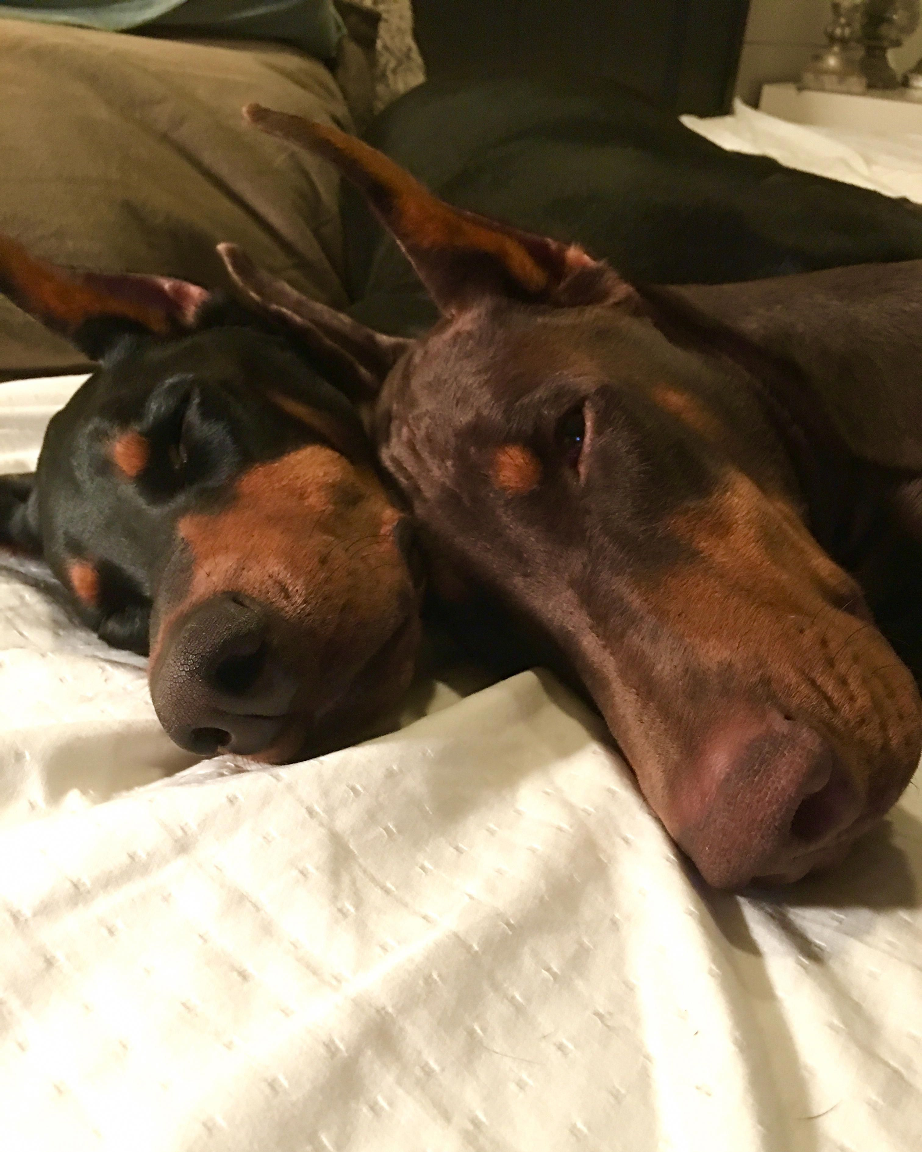 Pin By Laura Herron On Dobermans Doberman Pinscher Doberman