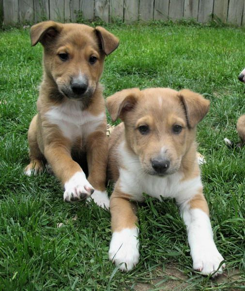 Sheltie Shepherd Collie Mix Dogs