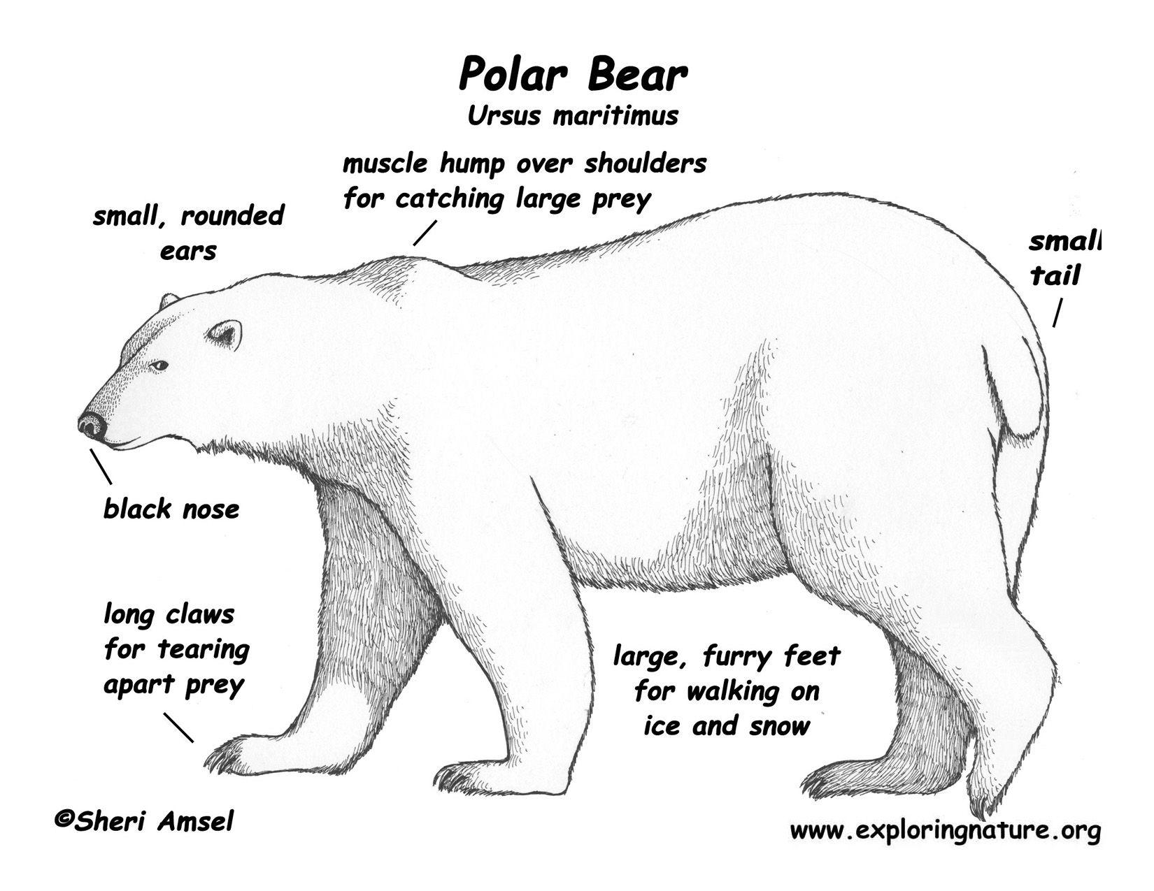 5ad21c69585b2771e6cff4e091536974 body diagram of polar bears bear_polar_color_diagram150 jpg images