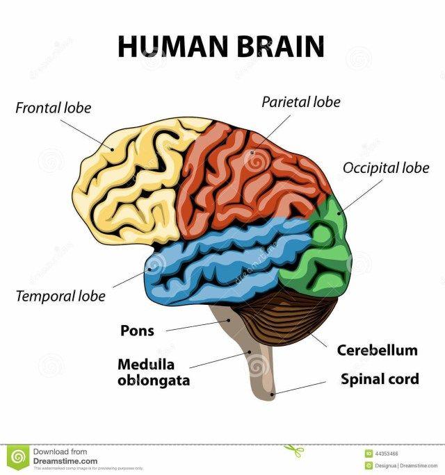 Human Brain Parts And Functions Diagram - koibana.info ...