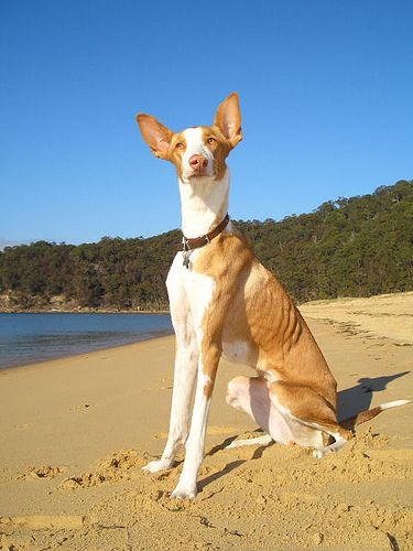 From The Ibizan Hound Gallery Podenco Ibicenco Ca Eivissenc Pool Ibizan Hound Dogs And Puppies Furry