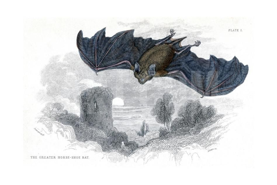Hand Coloured Engraving of a Greater Horseshoe Bat, 1838