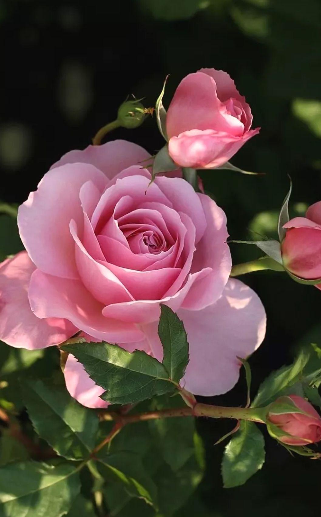 Best Rose Plants Online Rosegardening Beautiful Rose Flowers Pink Flowers Love Flowers