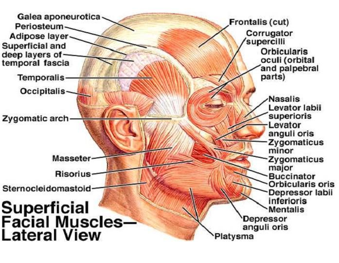 lateral+view.jpg (697×540) | XB2002 - A8 - Facial Anatomy Research ...