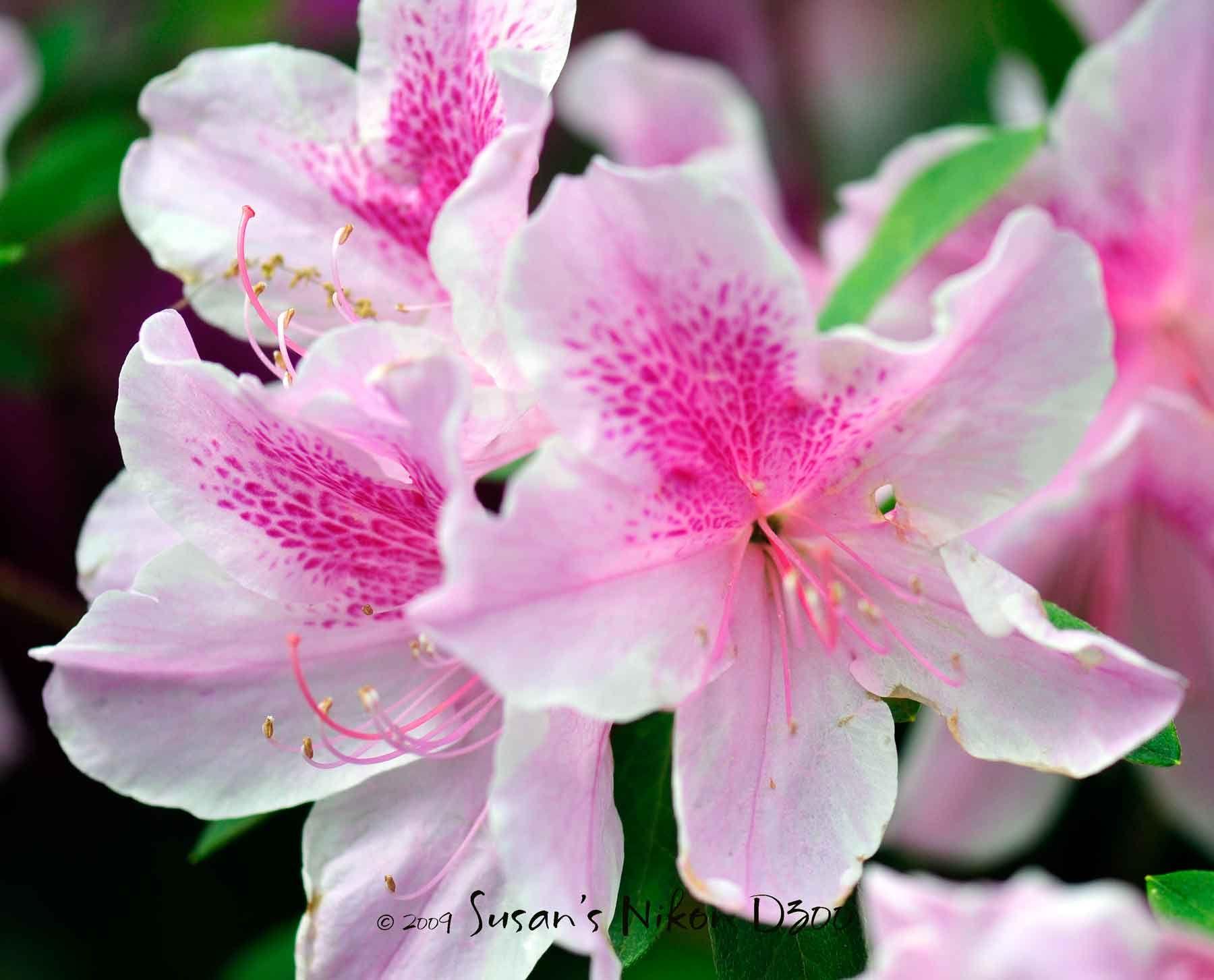 212 Free Azalea Flower Images Azalea flower, Flowers