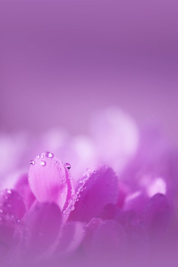 Lavender macro flower close up