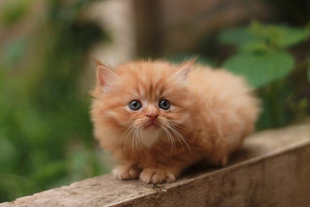 เคล ดล บในการกระต นล กแมวข บถ าย สำหร บล กแมวอาย 1 ว น ถ ง 3 ส ปดาห Persian Cat Cat Breeds Teacup Persian Cats