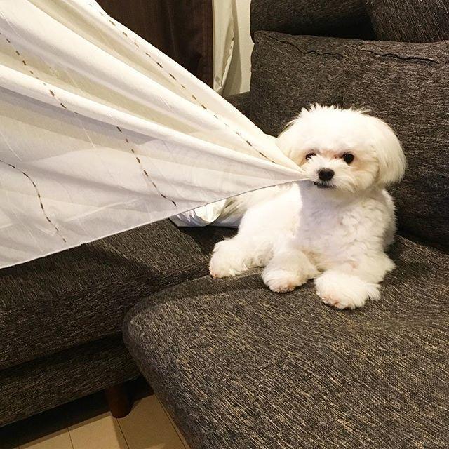 カーテン引っ張りながら ソファで一息 チワマル マルチワ チワワ Chihuahua マルチーズ Maltese ミックス Mix 愛犬 Pet Petstagram Dog Dogstagram Instadog Muu ムー Love ふわもこ部 犬 チワマル チワワ 犬