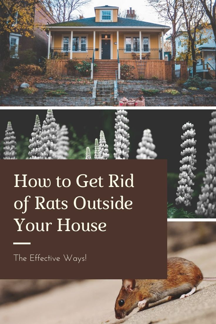 How to effectively get rid of rats outside your house