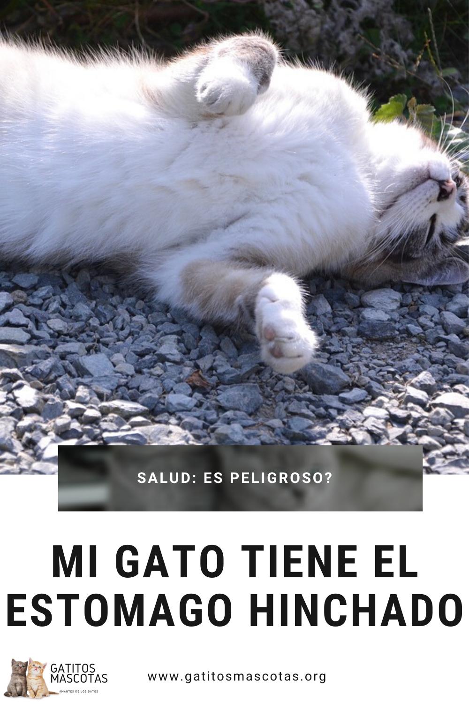 Mi Gato Tiene El Estomago Hinchado Puede Ser Peligroso Gatos Gato Saludando Estomago Hinchado