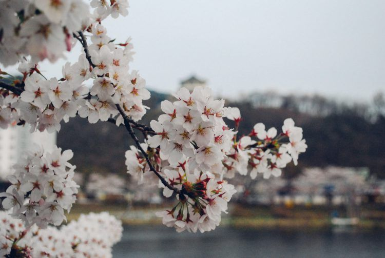 Cherry Blossoms Korea 2021 A Forecast Guide Where To Go Corea