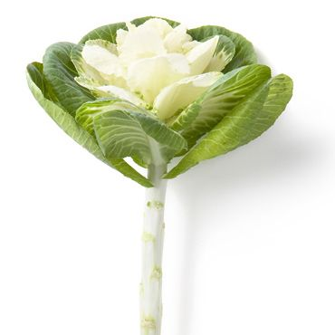 White Ornamental Cabbage With Its Outer Green Leaves Are Like Huge Stunning Roses As