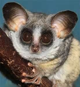 Bush Baby That S What Shifu From Kung Fu Panda Is I Just Had To