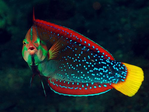 Yellow-tailed Rockturner / Coris #Wrasse