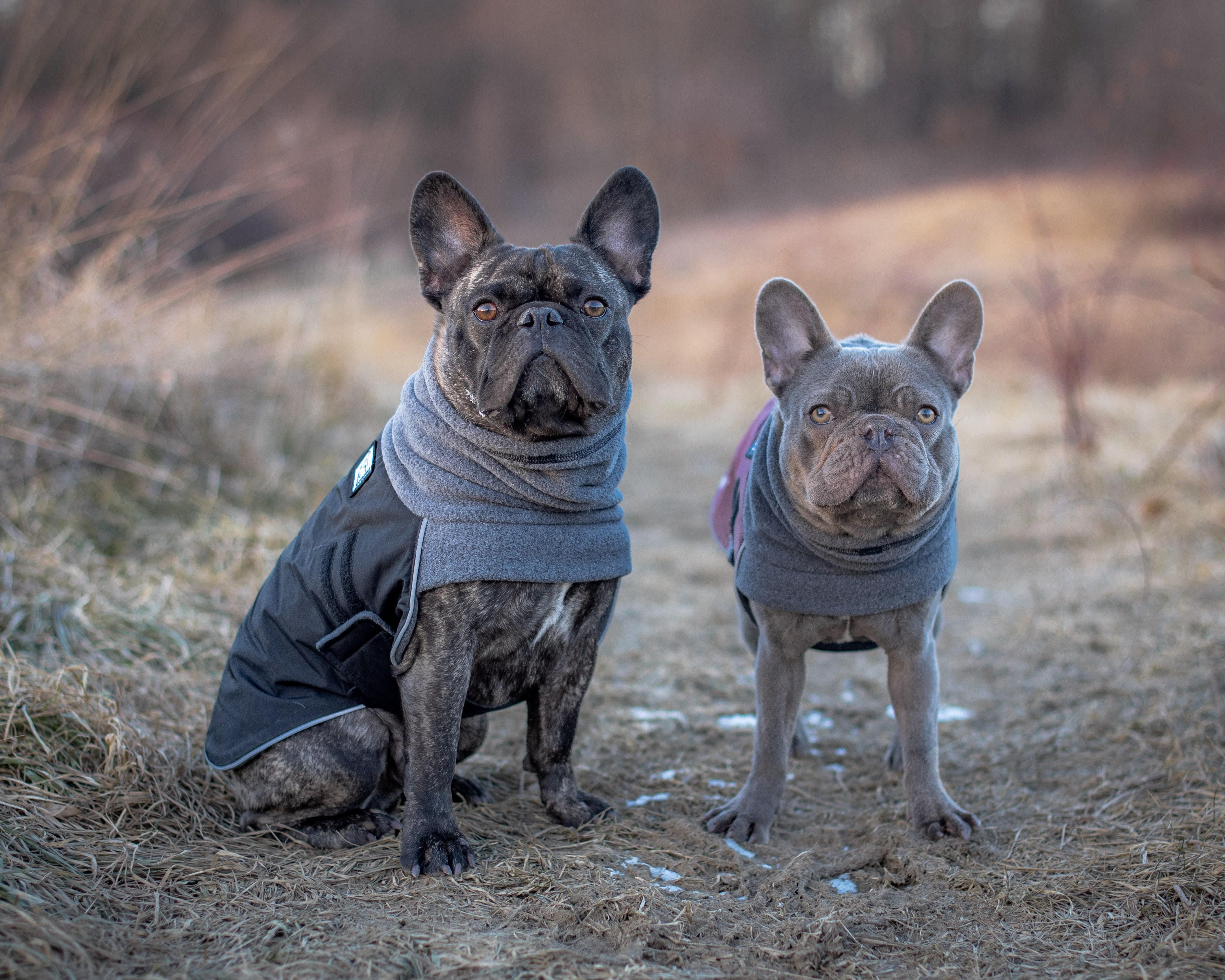 French Bulldog Winter Coats In Burgundy And Black Perfect For