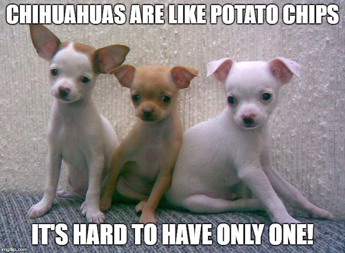 5ad611c3f0aad94c162d0001336855e6 funny chihuahua meme can't have too many dogs funny pups
