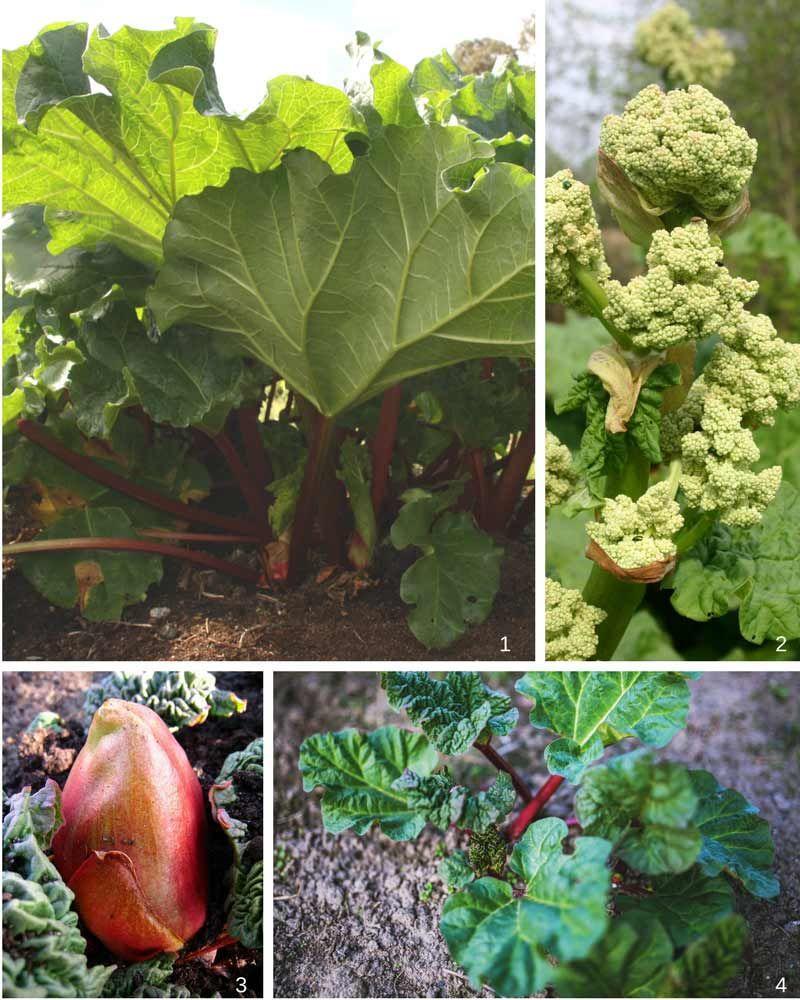 Reussir La Rhubarbe C Est Facile Faire Un Potager Jardin