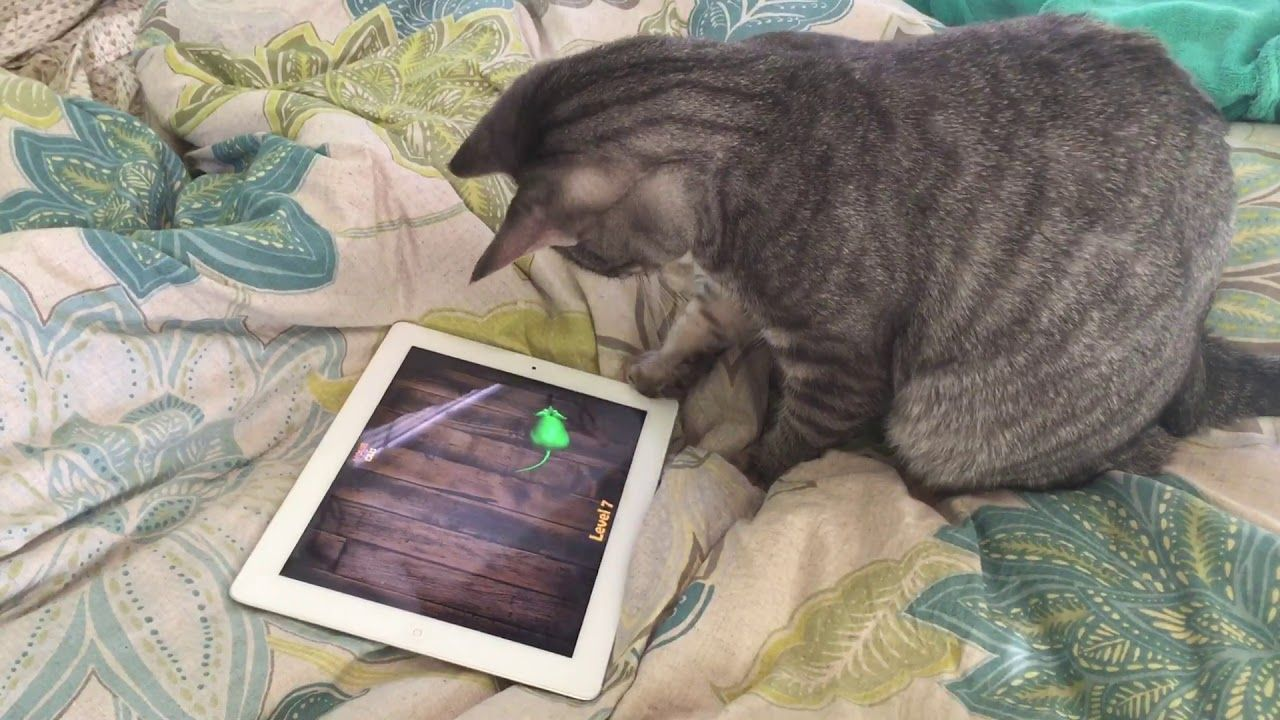 Pippin Plays With His Ipad Cat Mouse Cat Playing Ipad