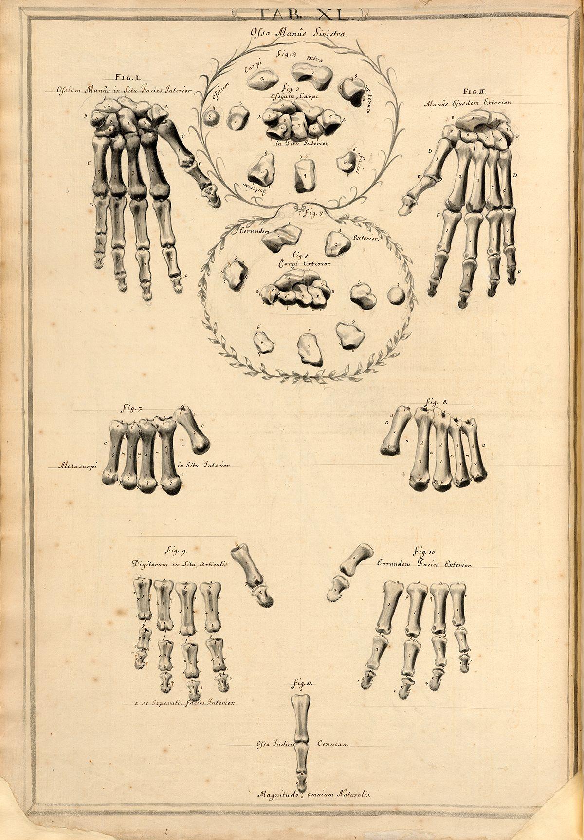 Bones of the Left Hand | • anatomy • | Pinterest | Anatomy and ...