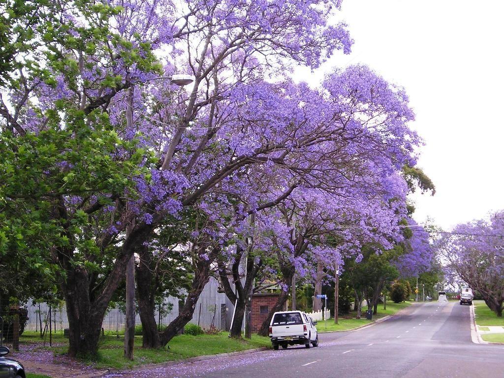 Flowering Trees The Beautiful Flowering Jacaranda Trees