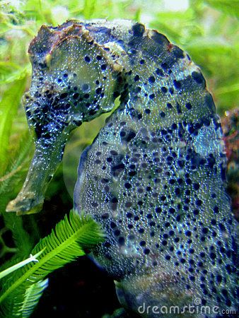 Seahorse Stock Photos, Images, & Pictures – (3,117 Images) - Page 3