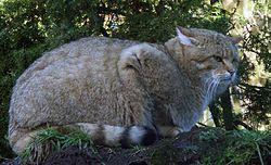 Gato-bravo , conhecido também como gato montes . Tímido , esquivo , de hábitos noturnos e difícil de observar na natureza . Pelagem acastanhada , cauda grossa tufada e com anéis pretos na ponta.