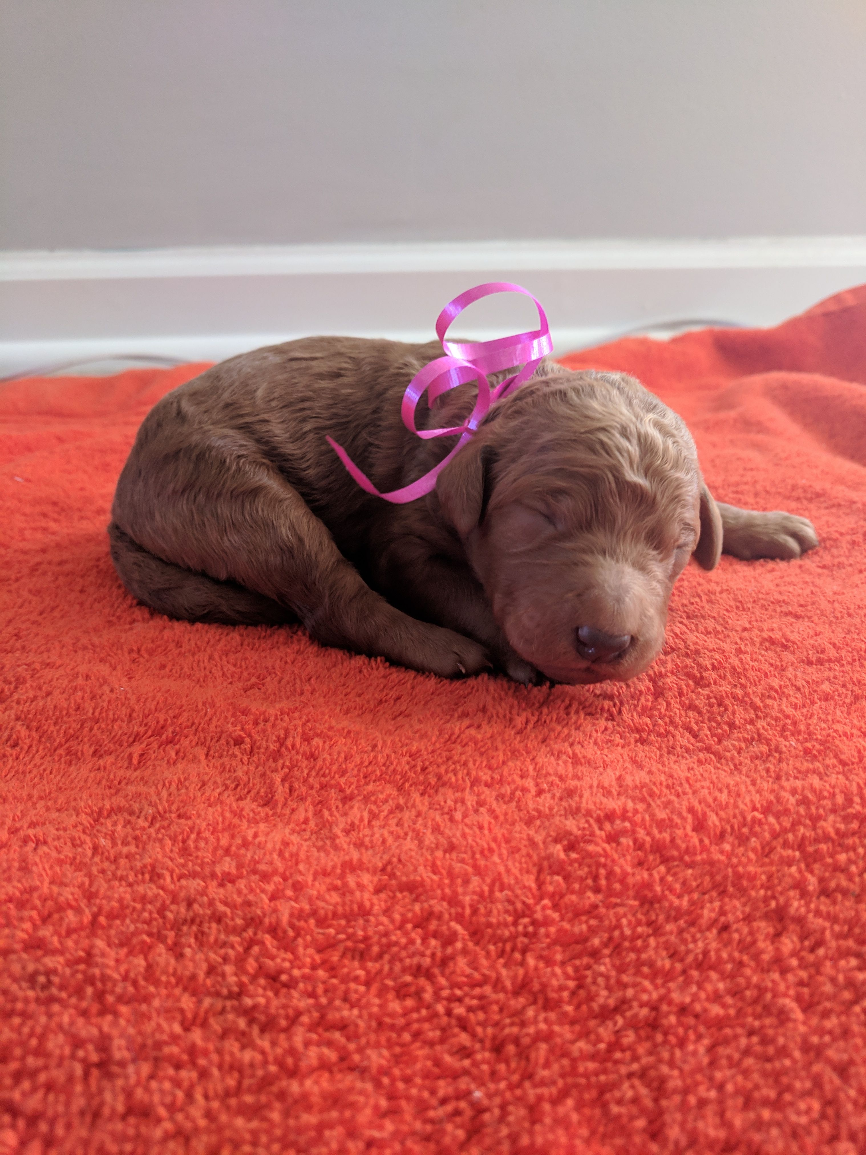 Cali A Female Akc Goldendoodle Puppy For Sale In Tennessee Find